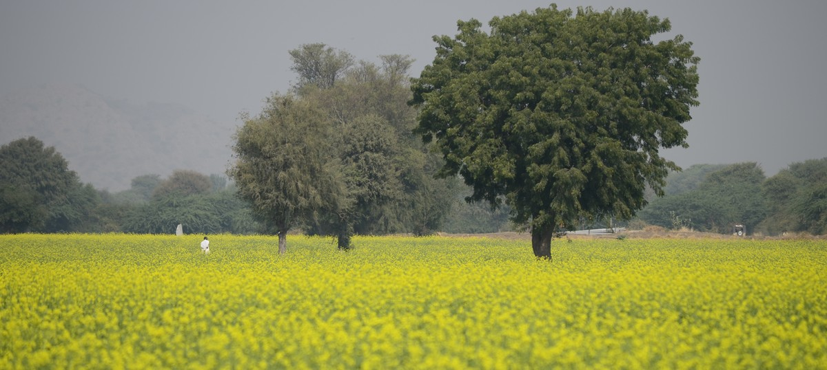 Beyond ideology, why scientists disagree on GM mustard