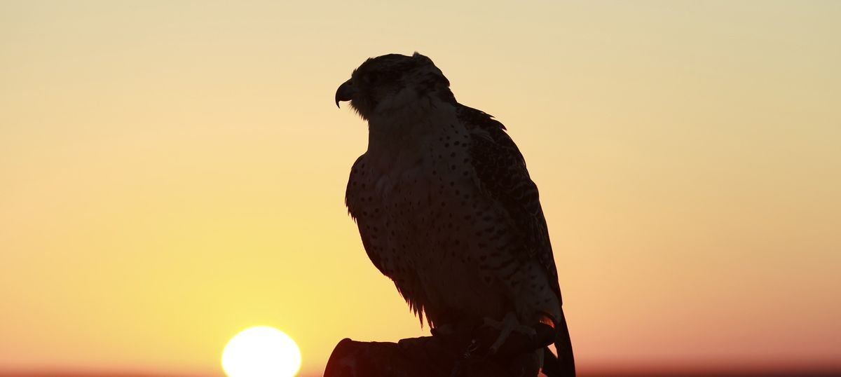 The BSF is investigating a 'trained falcon' it found near the Pakistan border in Bikaner