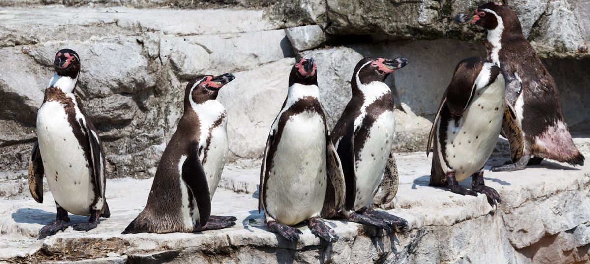 Endangered Humboldt penguin dies at Mumbai's Byculla zoo, activists demand police inquiry