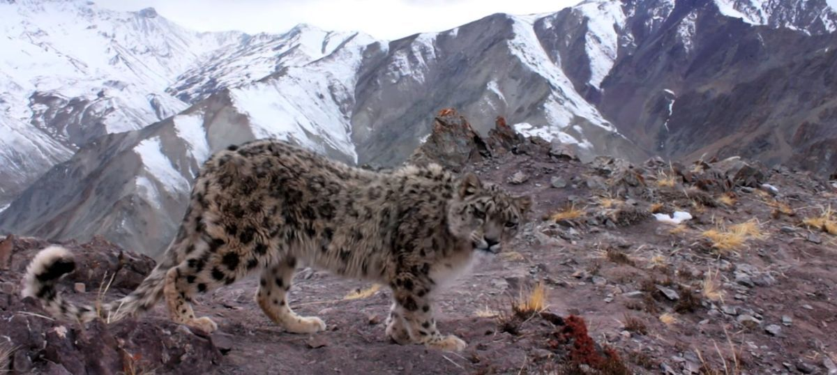 Snow leopard 'rape' on 'Planet Earth II': What is the nature documentary coming to?