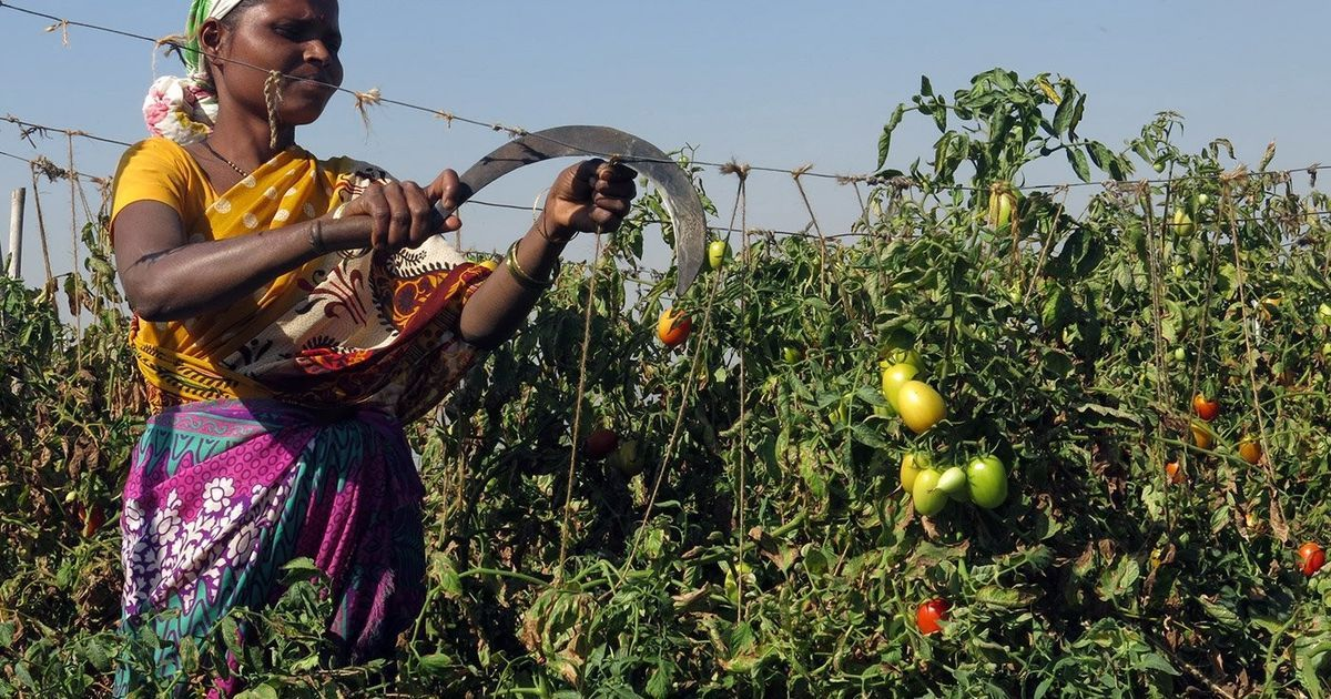 Demonetisation: Maharashtra farmers are destroying tomato crops on a scale never seen before