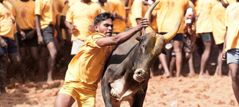 Supreme Court refuses to pass judgment on jallikattu before Pongal