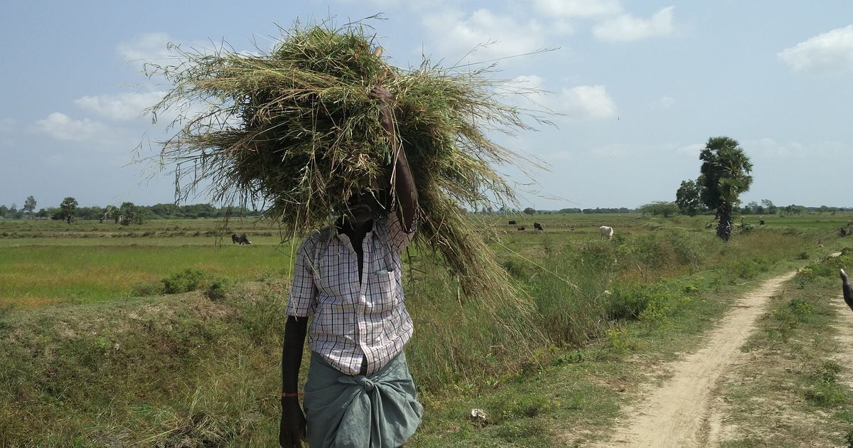 No harvest, no festive cheer: It's a black Pongal for drought-hit farmers in the Cauvery delta