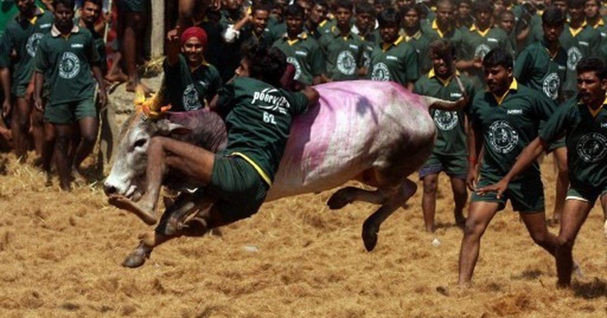Jallikattu ban: DMK holds protests across Tamil Nadu seeking ordinance by Centre to allow the sport