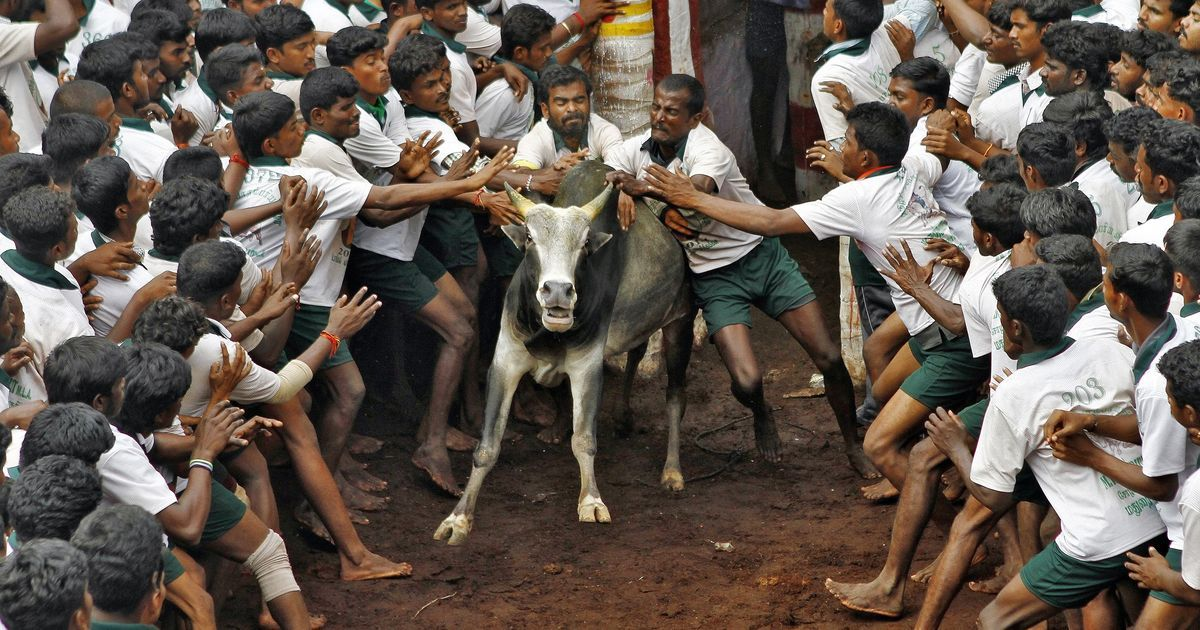As jallikattu supporters grow more insistent, Dalit voices of protest against bull-taming emerge