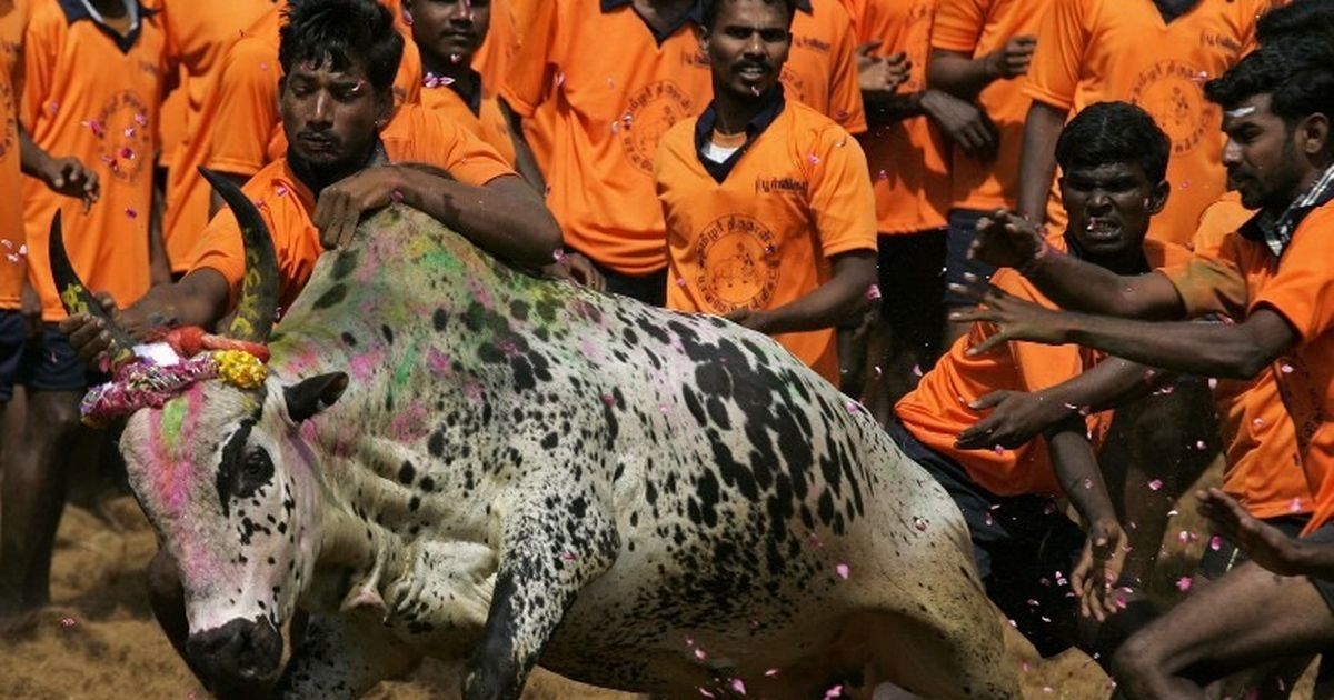 Readers' comments: Jallikattu ban is a conspiracy to eliminate native cattle breeds