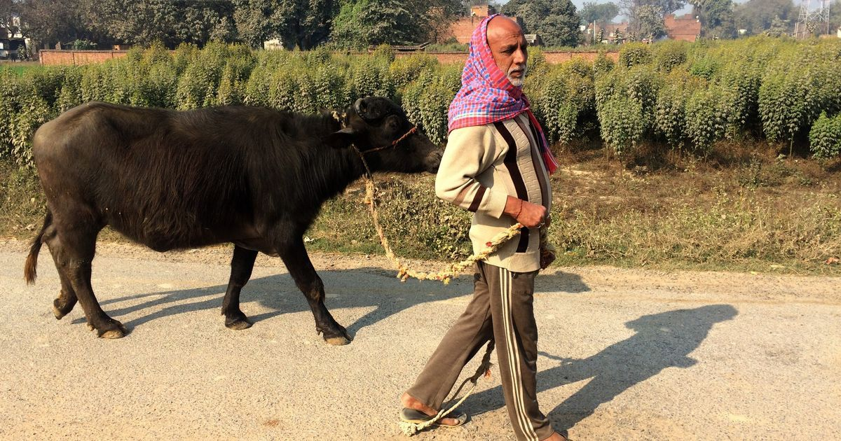 What a case of stolen buffaloes tells us about the quest for security in Uttar Pradesh