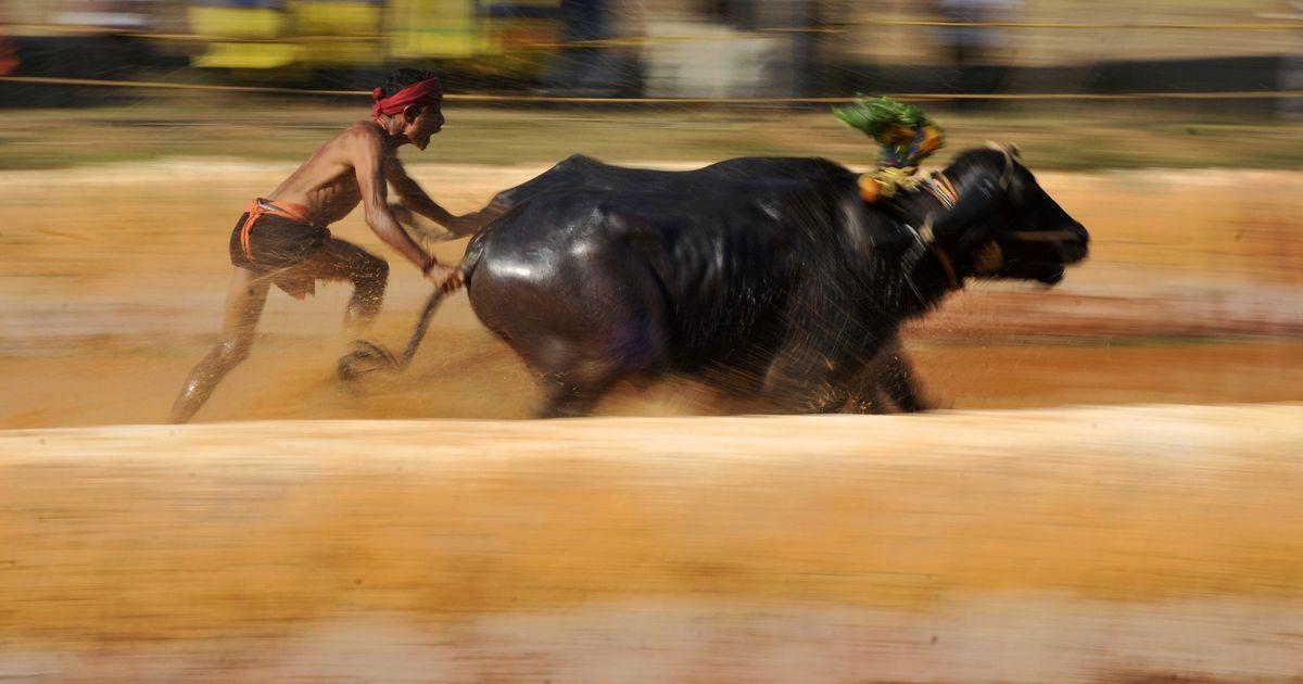 After Tamil Nadu's jallikattu victory, Karnataka wants to bring back buffalo-racing sport kambala