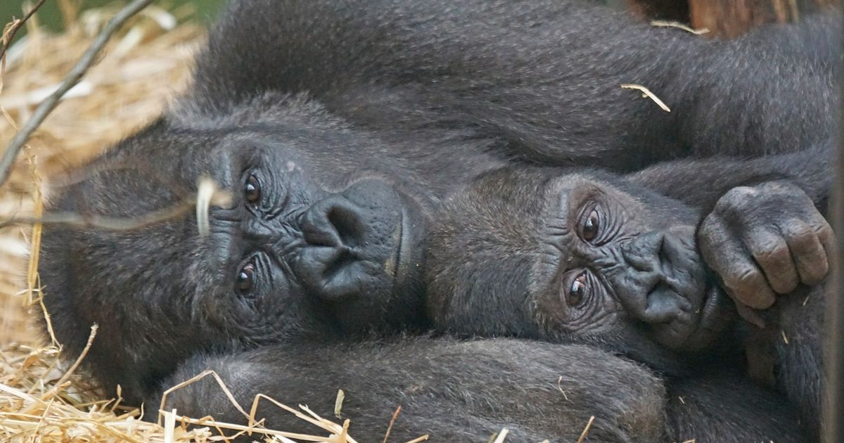 I saw a gorilla shot and killed before my eyes: A primatologist's plea to save great apes