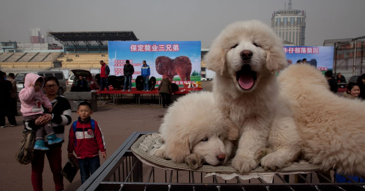 A Tibetan dog breed is suffering because of a fickle fad in China