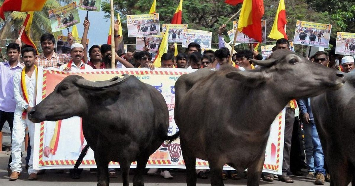 Kambala ban: Karnataka government tables Bill to allow buffalo racing