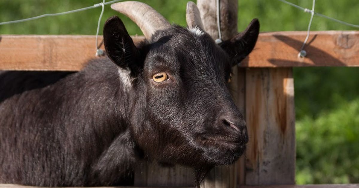 In a Kerala 'goat village', Adivasis make sure they get the right price for hardy Indian goats
