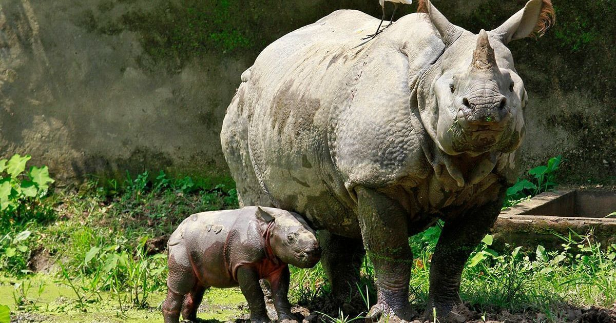 In Kaziranga, an orphanage raises baby rhinos till they're ready to go back into the wild