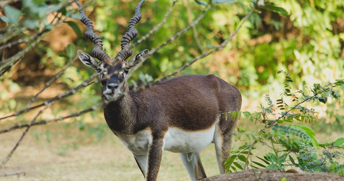 The growing population of dogs at IIT-Madras is threatening its resident blackbucks