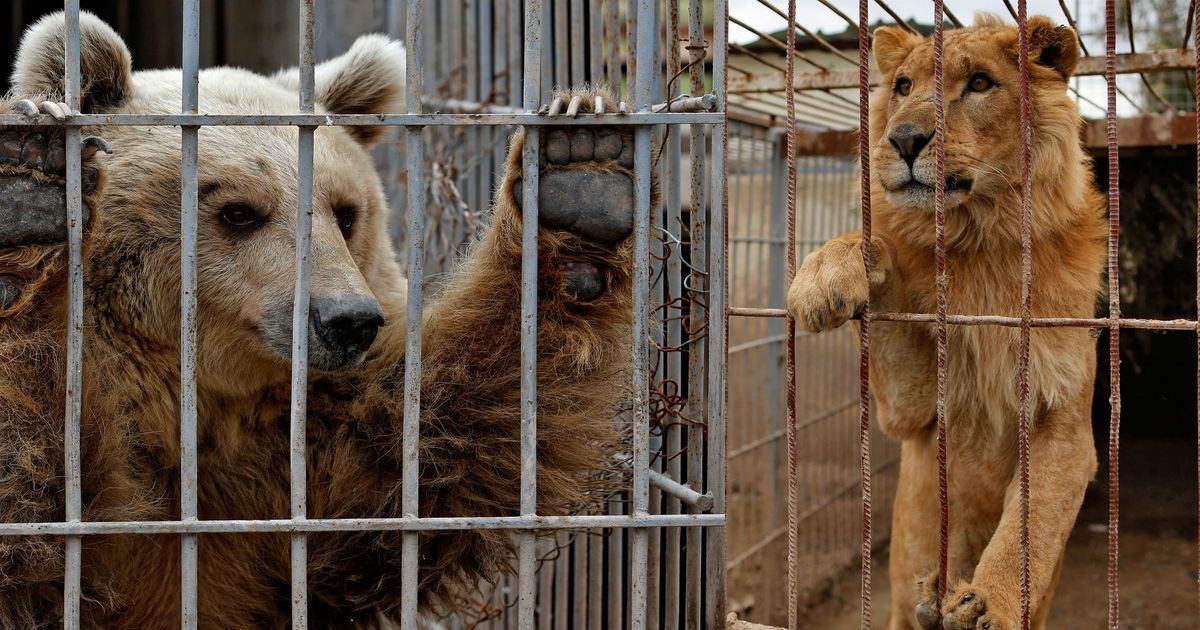 A lion and a bear, the last surviving animals of a Mosul zoo, have been flown out of Iraq
