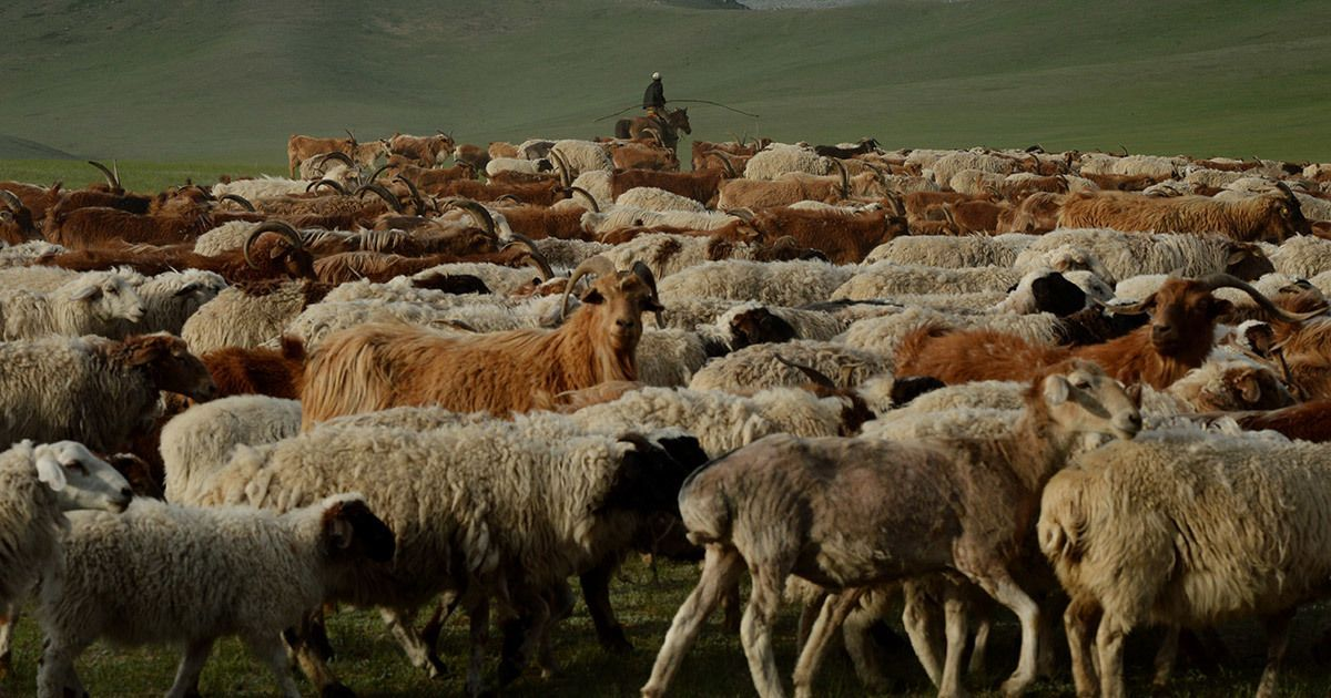 China still feels the impact of the Japanese empire's plan to introduce hybrid sheep in its steppes