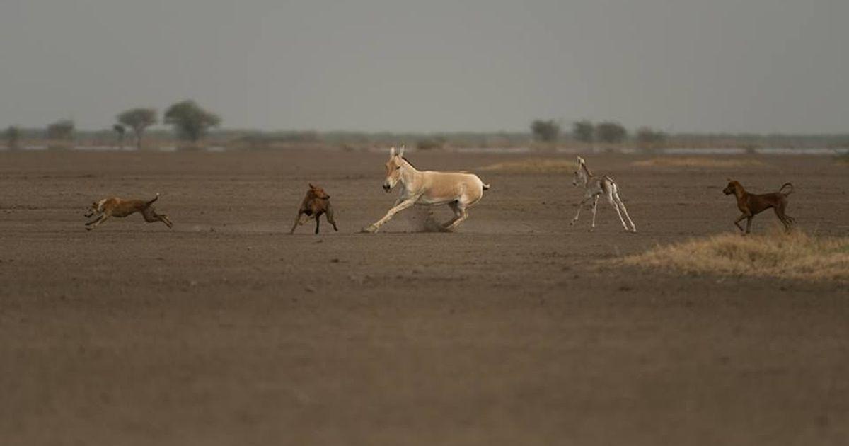 The bark side: Domestic dogs threaten endangered species worldwide
