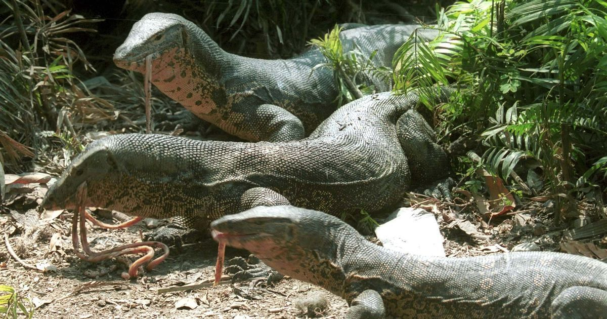 Scientists 'resurrect' long-lost monitor lizard species in Papua New Guinea
