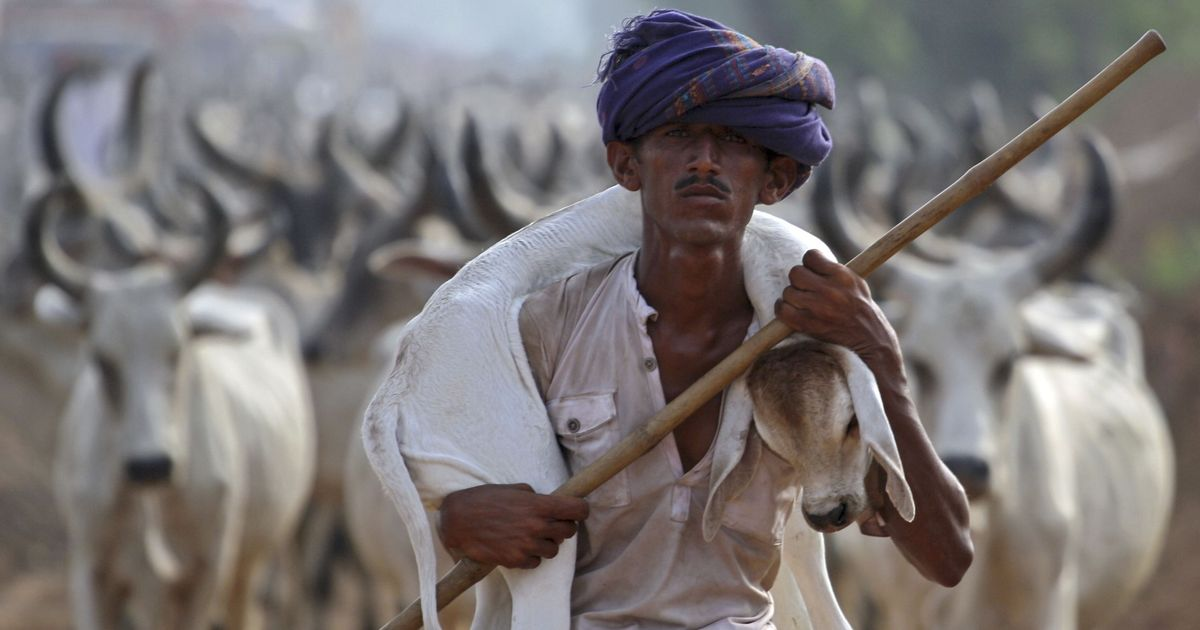 Why Hindu farmers and cattle traders in Rajasthan are angry with gau rakshaks