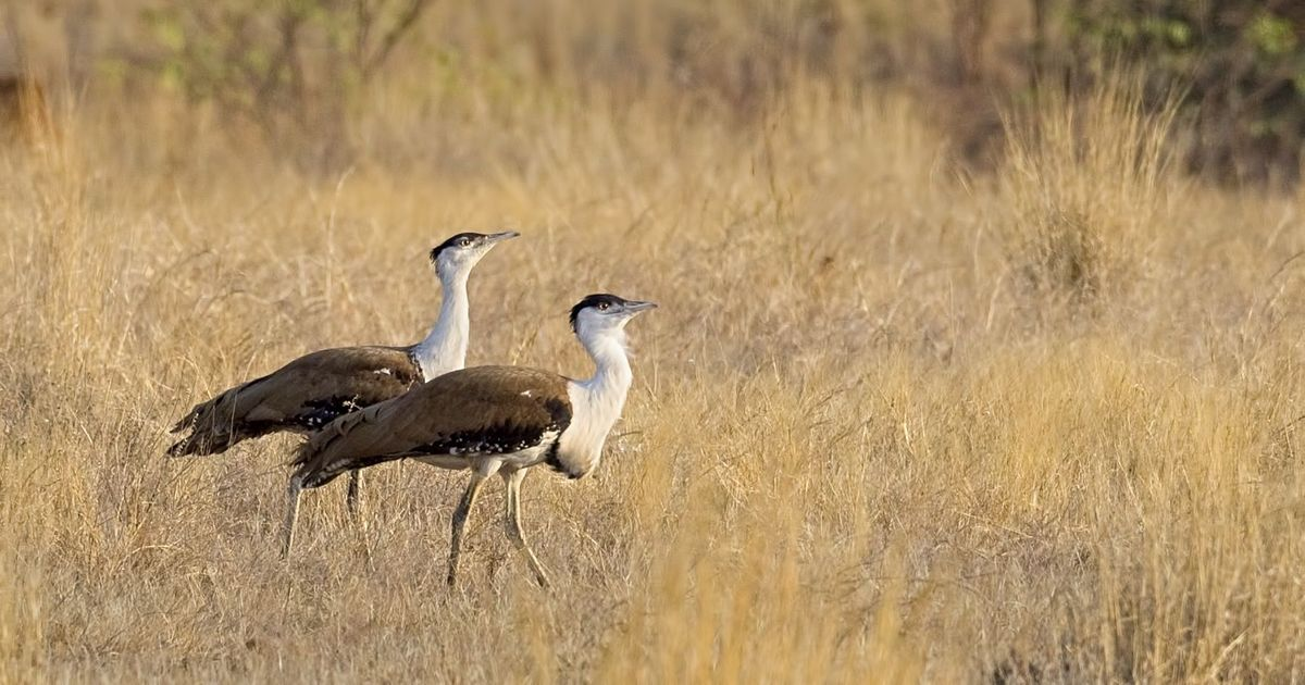 This doctor saved the Great Indian Bustard from extinction – by treating cattle herders for free