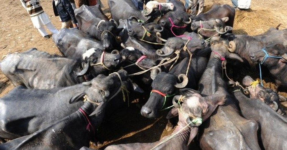 Will the new cattle trade rules turn out to be an unofficial ban on slaughter?
