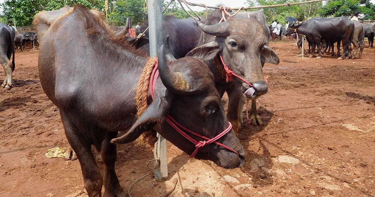 'Do we have to wind up our business?': Popular Kerala cattle market reels under Centre's new rules