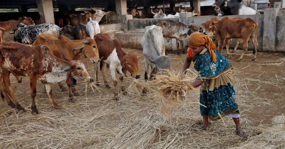 What cow-loving India should actually focus on: Making more fodder available to starving cattle