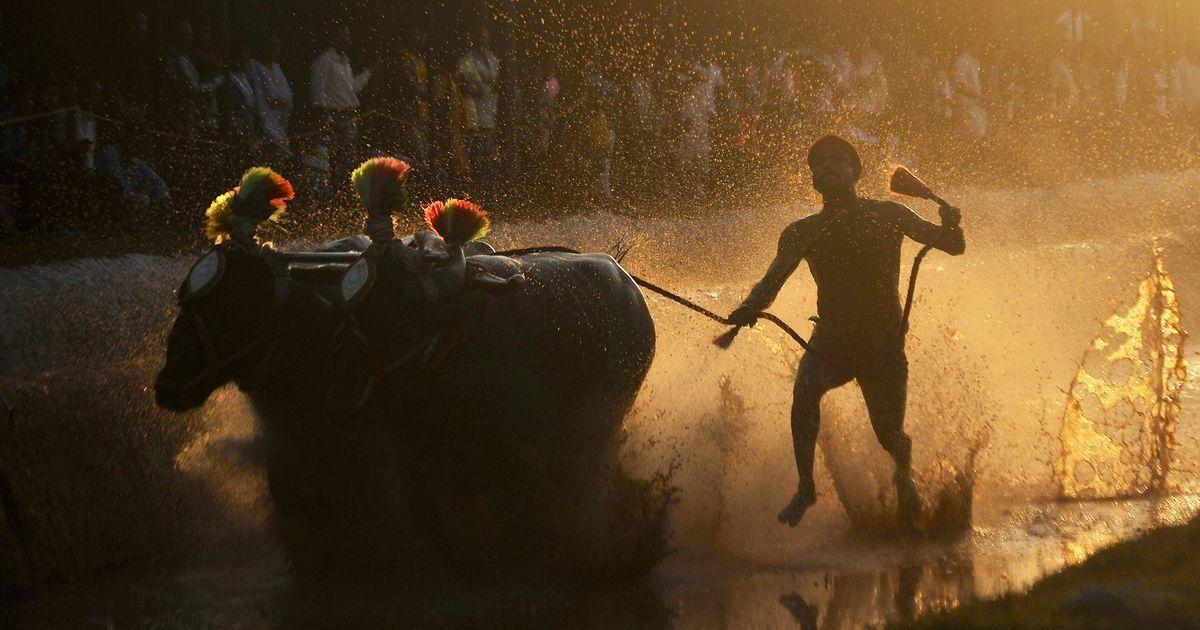 Buffalo racing sport kambala is now legal in Karnataka