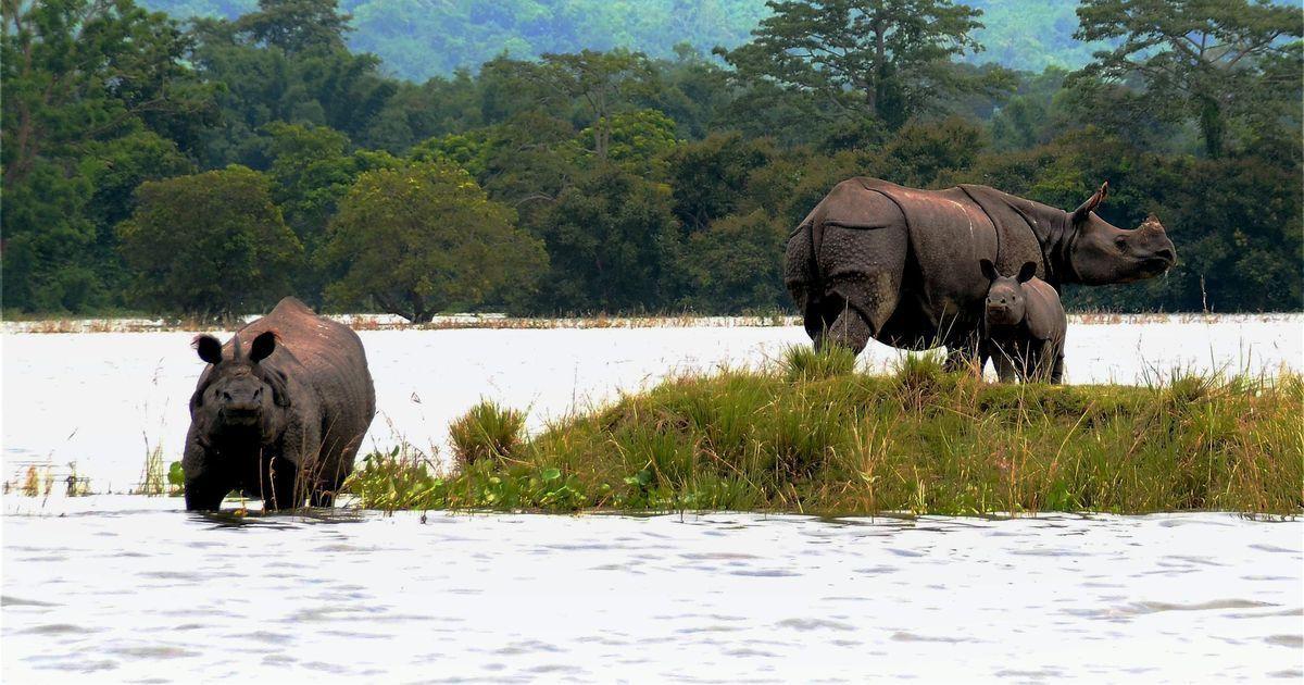 Watch: Animals at flooded Kaziranga National Park struggle to find shelter