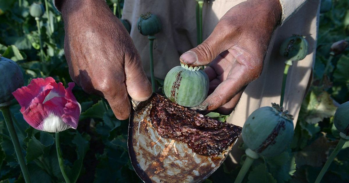 Indians working in exploitative conditions on Italian farms are using opium to numb the pain