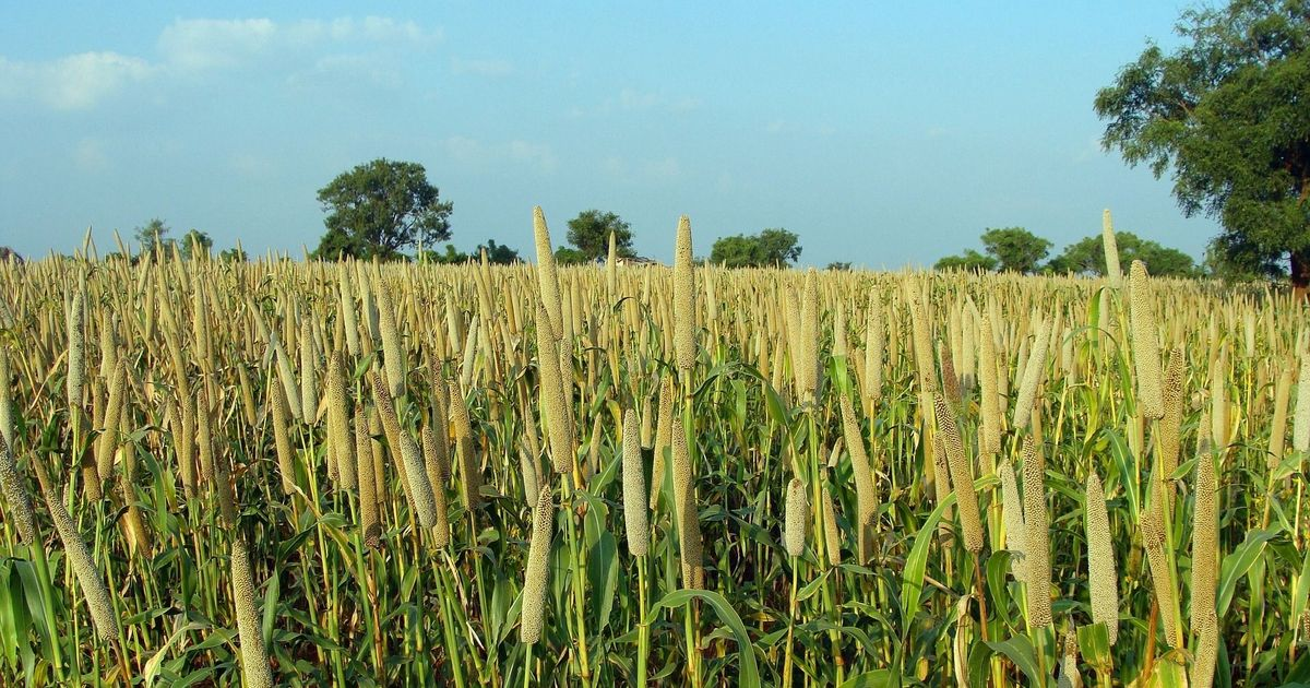 Millets aren't just healthy, they could also hold the answer to food security challenges