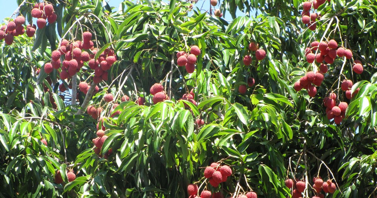 Lab notes: Bangladesh 'litchi deaths' now linked to excessive pesticide on fruit