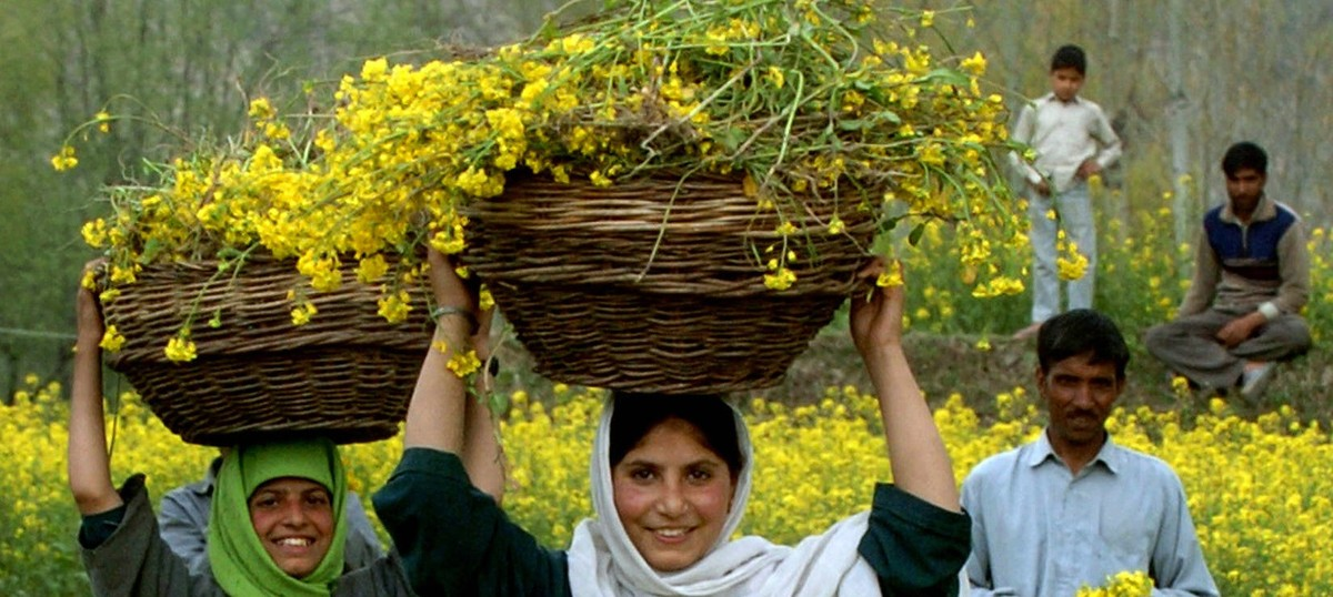 Centre says it will decide on launching GM mustard for commercial use in a month