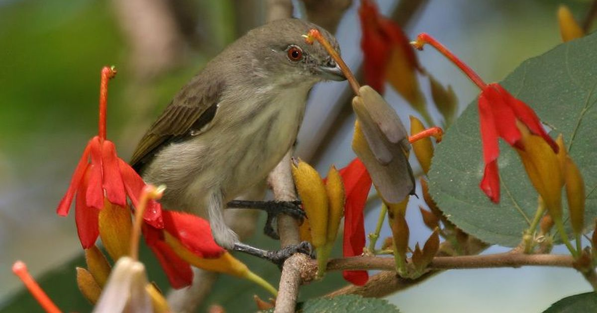 Why the evolutionary link between flowerpeckers and mistletoes is crucial to the forests