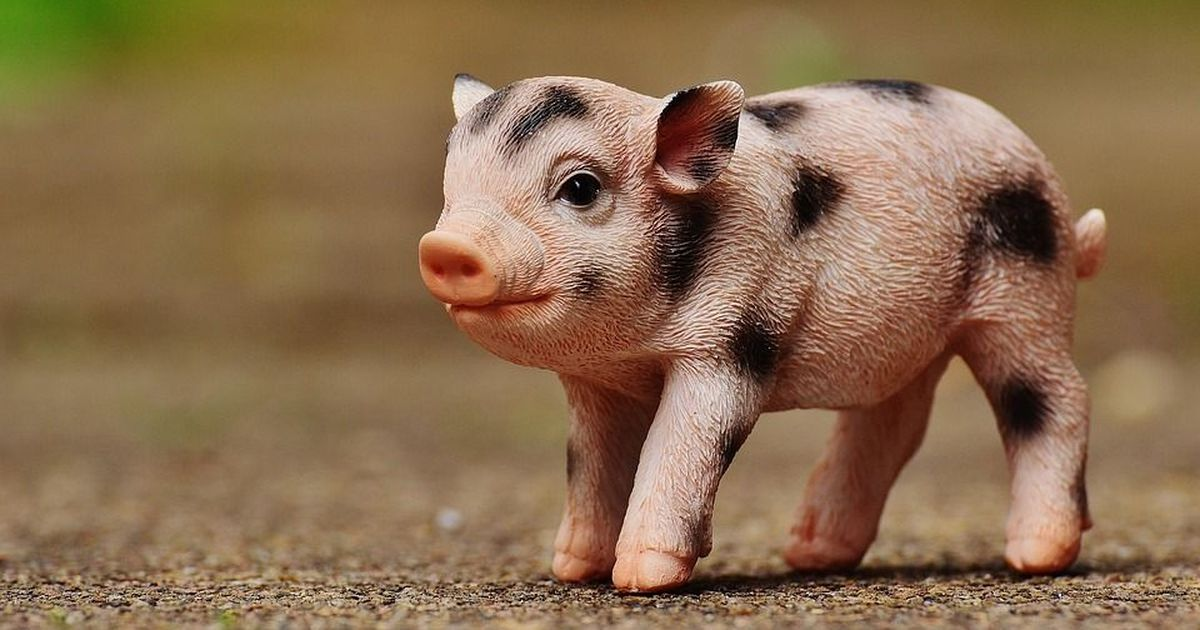 Genetically altered pigs offer hope for animal-to-man organ transplants in the future