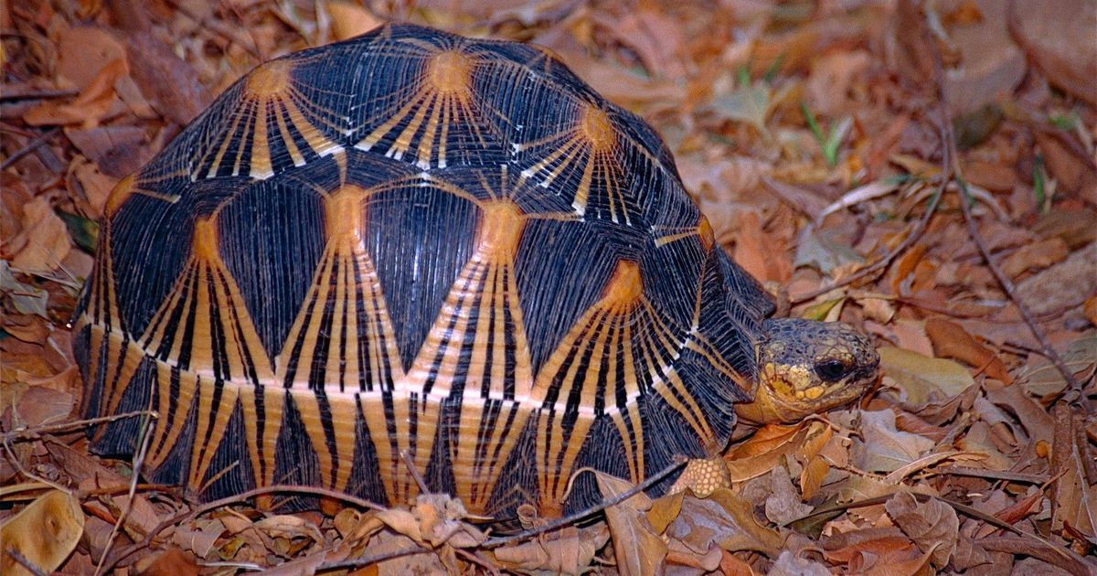 Madagascar's endangered radiated tortoises have personalities too