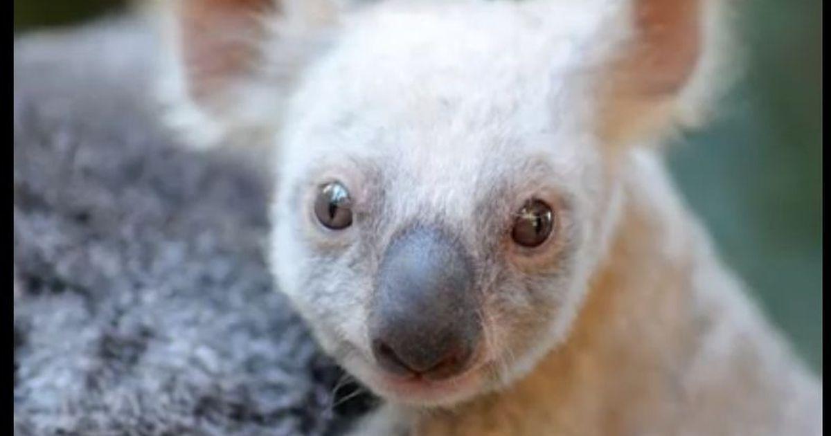 A rare white koala was born at Queensland's Australia Zoo