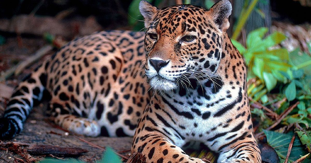 Curiosity saves the cat: How tourist interest in spotting jaguars could help preserve the species