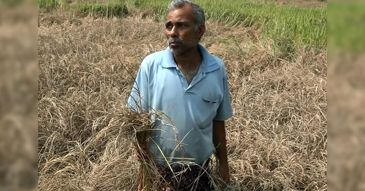 Drought and now pest attacks: Double danger stalks Odisha's rice fields, its farming mainstay