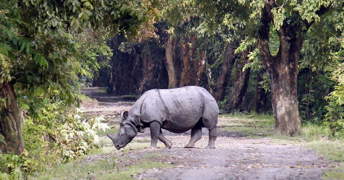 Poachers kill rhinoceros in Assam's Kaziranga National Park, flee with horn