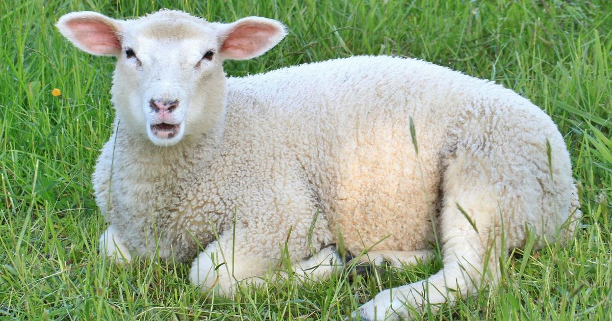 Sheep can recognise celebrities from photographs: An amusing study opens up serious possibilites