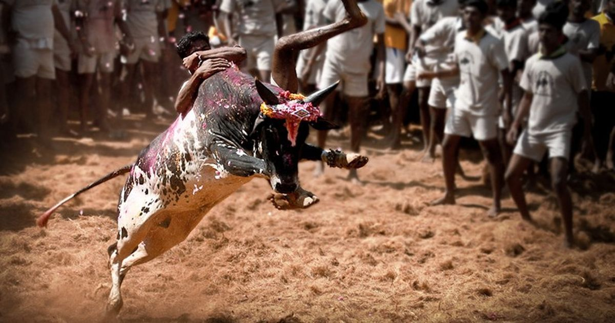 SC's Constitution bench to examine if jallikattu is a cultural right