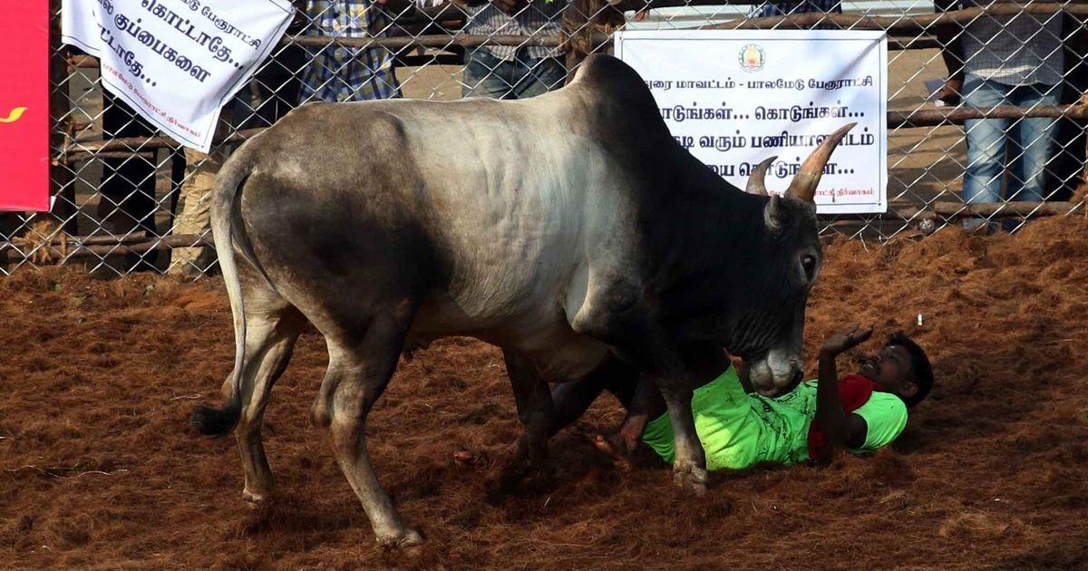 Tamil Nadu: Three people die while watching jallikattu in Sivaganga and Tiruchirappalli districts
