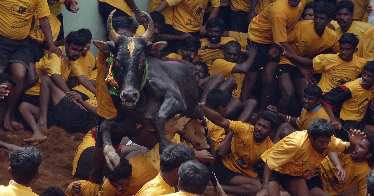 Jallikattu: Spectator gored to death while watching bull-taming sport in Tamil Nadu's Pudukottai