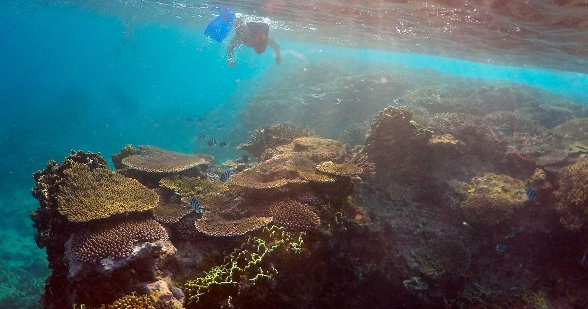 Australia rolls out plan to cull predator starfish that have been eating away the Great Barrier Reef