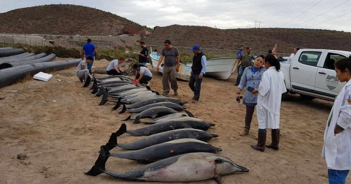 Mexico: 21 dolphins die after washing up on a shore, authorities say another species attacked them