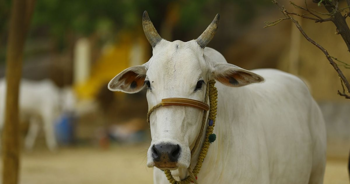 Buying a cow is a complicated business. Just ask this unlikely cow owner in  Bengaluru