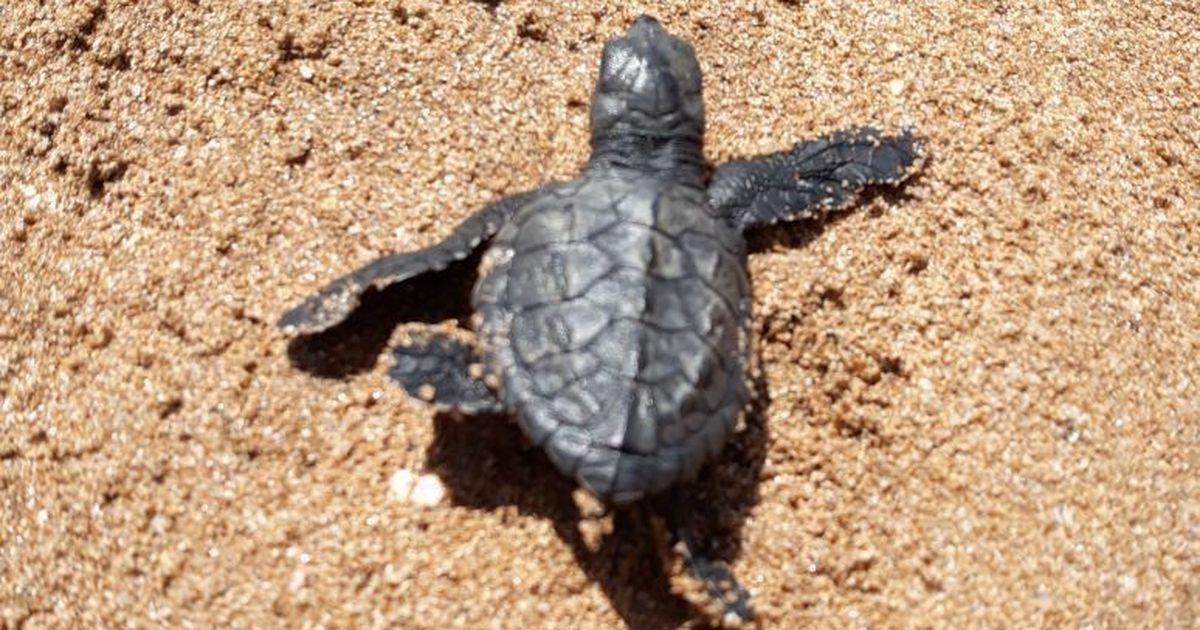 Endangered Olive Ridley turtles make Mumbai's Versova beach a nesting site after 20 years