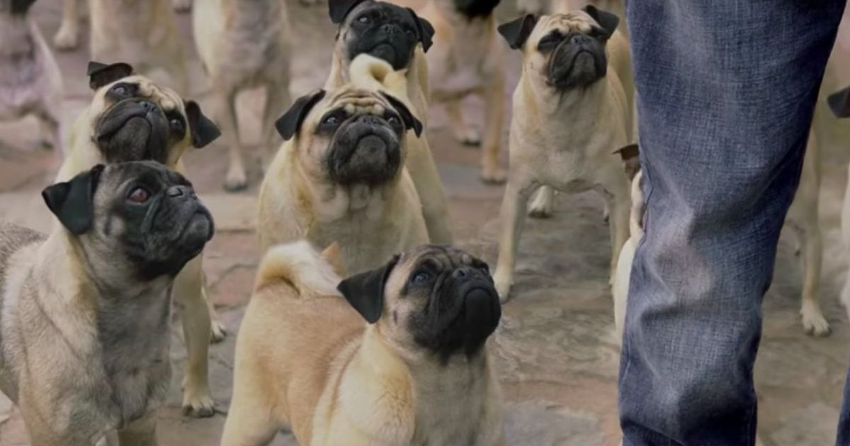 PETA urges Vodafone to stop using pugs in its advertisements