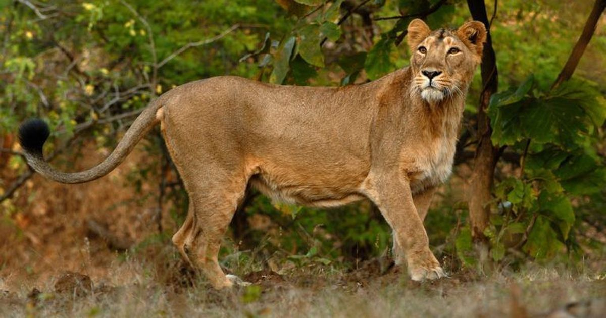 How politicking and state apathy has put the survival of the Asiatic lion at risk in India